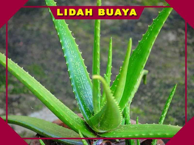 Apakah Nature Republic Aloe Vera Bisa Memutihkan Wajah Siskashop